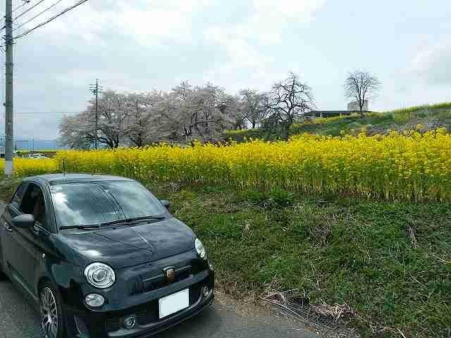 アバルト595。菜の花と桜が一緒に撮影できるのが長野。