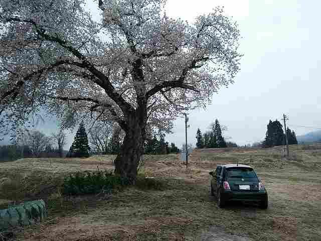 某北信の県道をさまよってて見つけた一本桜。