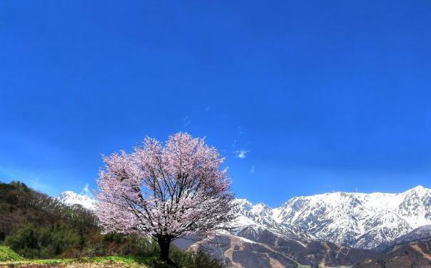 こういう桜を見つけると超うれしい。