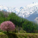 白馬の某所の桜。
