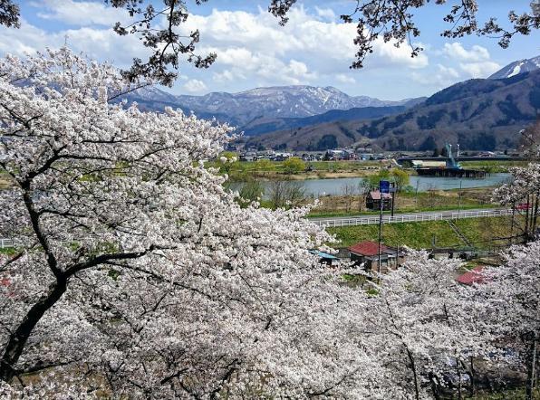 某有名桜スポット。