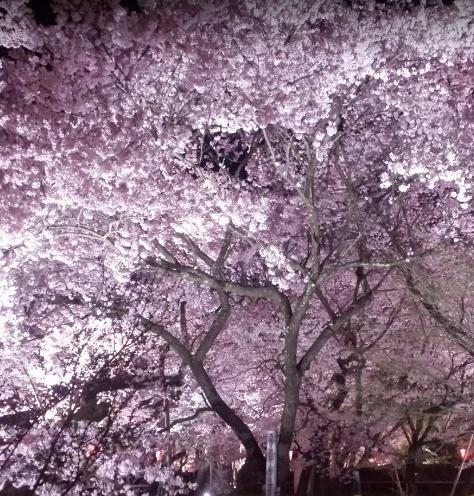 某桜の名所は夜桜のライトアップが普通。
