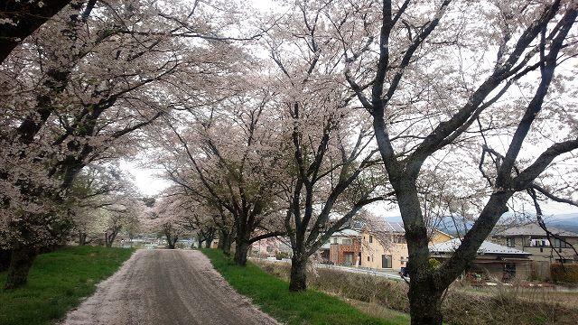 秘密の桜並木。だれもいないけど満開。