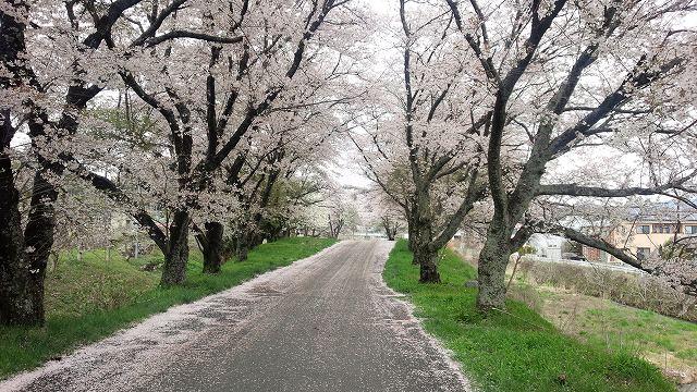 ちなみにこれは秘密の桜並木