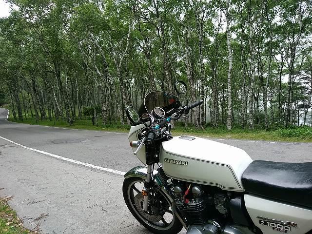 こんな白樺林だって散歩の範囲