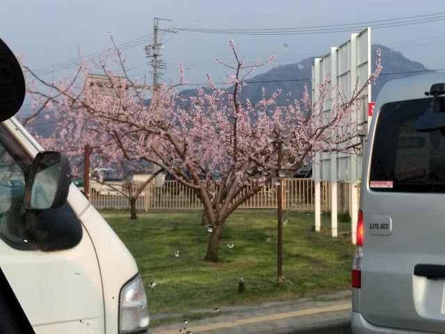 確かに道端の桃の花が満開なんだけれど・・