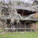 某人里のわきのお寺の桜が満開でした。