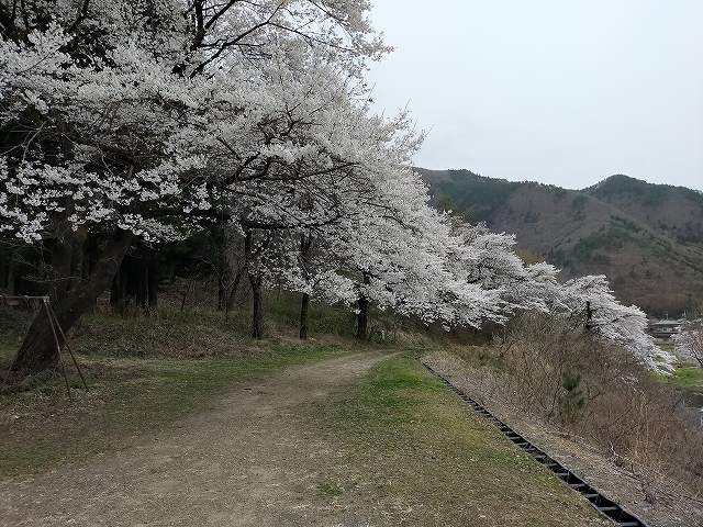 誰もいない桜並木。見事。
