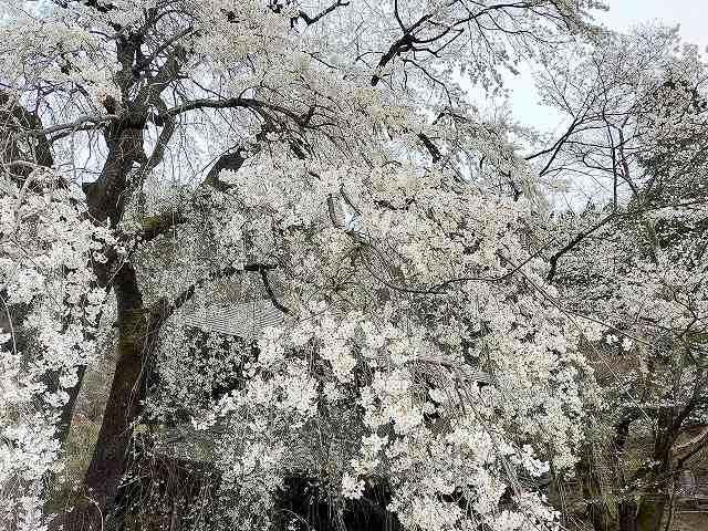 2021年は4月4日で桜は満開ですわ。