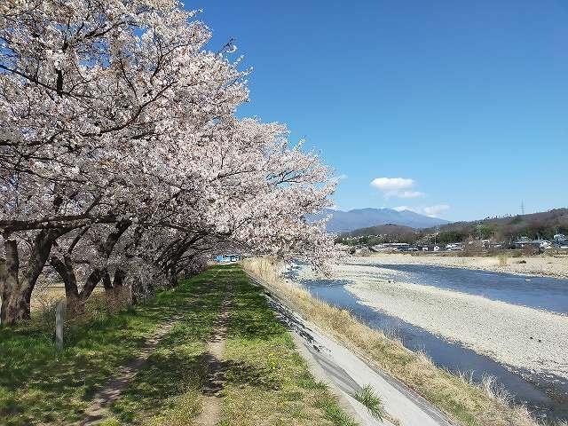 この桜の下で写真撮りたかった。