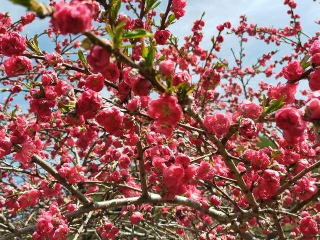 これはGoogleアプリで先生が「桜。」と言い切るハナモモ。