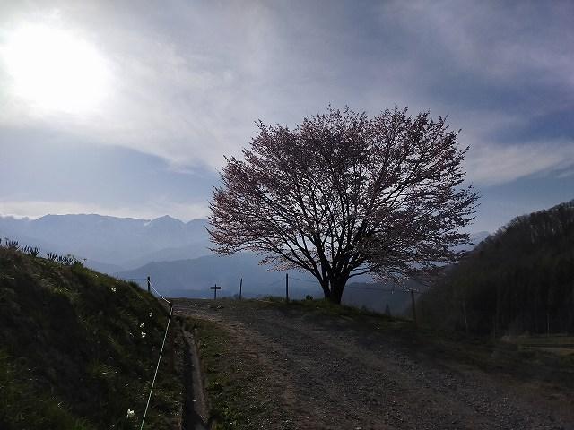 野平の一本桜。